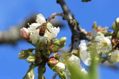 apr 14 cherry blossom 1