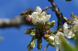 apr 14 cherry blossom 2