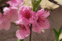 apr 14 peach blossom 2