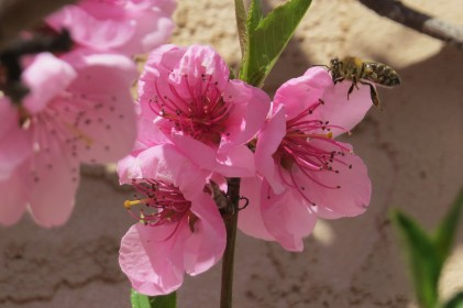 apr 14 peach blossom 2