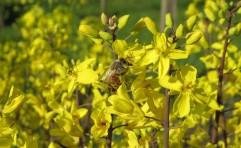 bee in brassica