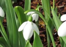 feb bee snow drop 01