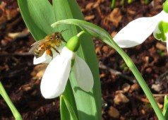 feb bee snow drop 02
