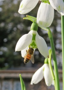 feb bee snow drop 03