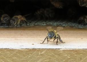 sept bees guard2